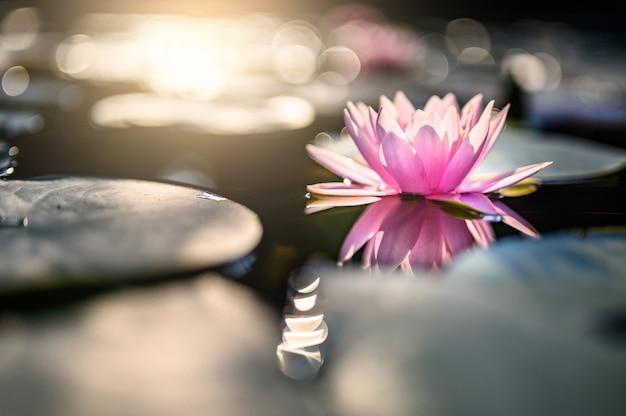 Mooie lotusbloembloem op het water na regen in tuin. Premium Foto