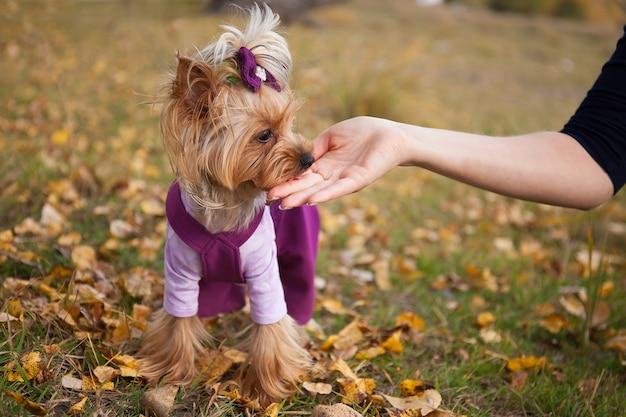 Mooie modieuze kleine hond yorkshire terrier in kleding op een wandeling in  het najaar park eet een traktatie uit de hand | Premium Foto
