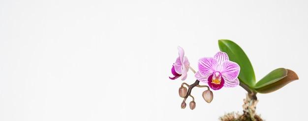 Mooie opname van een bloem genaamd sander's phalaenopsis op een witte achtergrond Gratis Foto