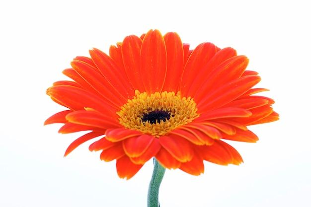 Mooie oranje gerbera geïsoleerd op wit Gratis Foto