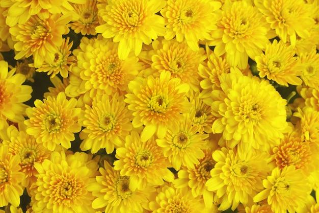 Mooie paardebloem achtergrond, gele bloemen bloeit in de tuin. Premium Foto