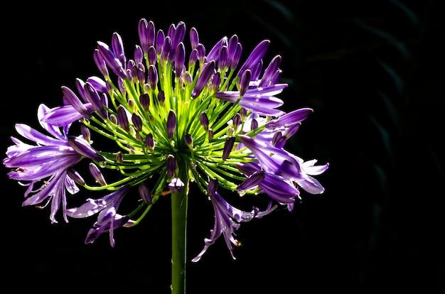 Mooie purpere kleuren afrikaanse lelie die (kaap blauwe lelie) bloeien op dark Premium Foto