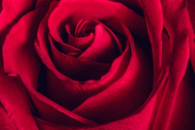 Mooie rode roos, close-up Premium Foto