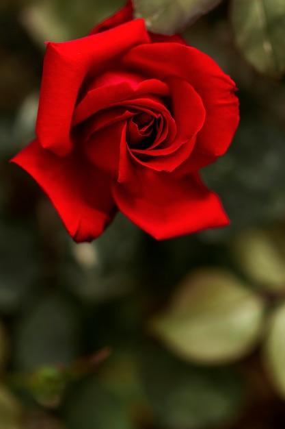 Mooie rode roos met wazig blad Gratis Foto