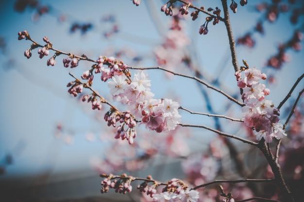 Mooie roze kersenbloesem bloemen Gratis Foto