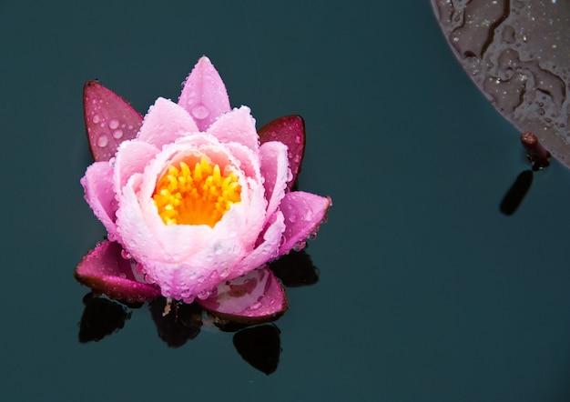 Mooie roze leliebloem in het water Gratis Foto