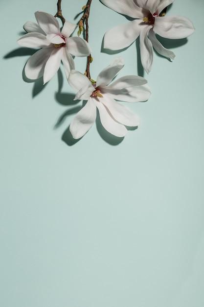 Mooie roze magnoliabloemen op blauwe achtergrond. bovenaanzicht. plat lag. lente minimalistisch concept Premium Foto
