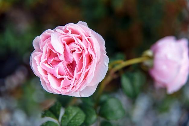 Mooie roze pioen roos in een close-up van de tuin Premium Foto