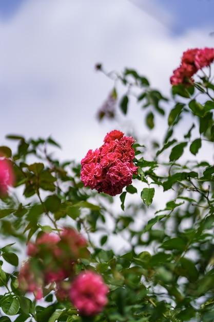 Mooie roze roos op de rozentuin in de zomer met blauwe lucht Gratis Foto