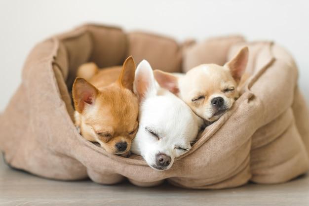 Mooie, schattige en mooie binnenlandse chihuahua puppy's vrienden liegen, ontspannen in hondenmand Premium Foto