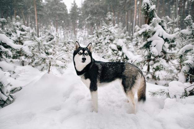 Mooie siberische husky hond wandelen in de besneeuwde winter dennenbos Gratis Foto