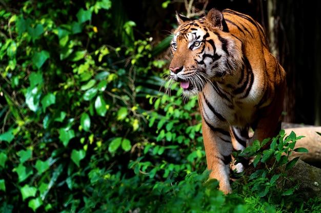 Mooie sumatraanse tijger op jacht Premium Foto