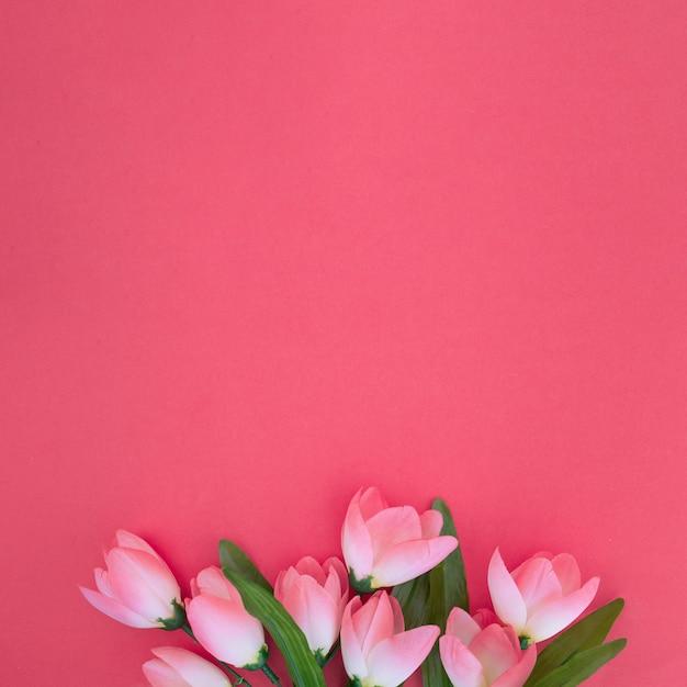 Mooie tulpen op roze achtergrond Gratis Foto