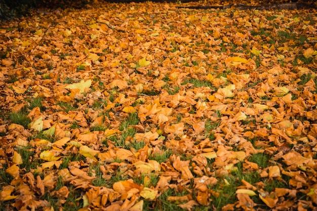 Mooie uitstekende de herfst openluchtaard als achtergrond van rode esdoornbladeren en droge bladeren gevallen aan het gazon Premium Foto