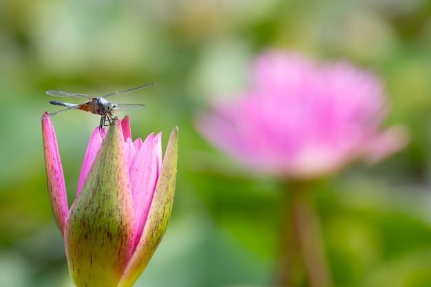 Mooie waterleliebloei in vijver Premium Foto