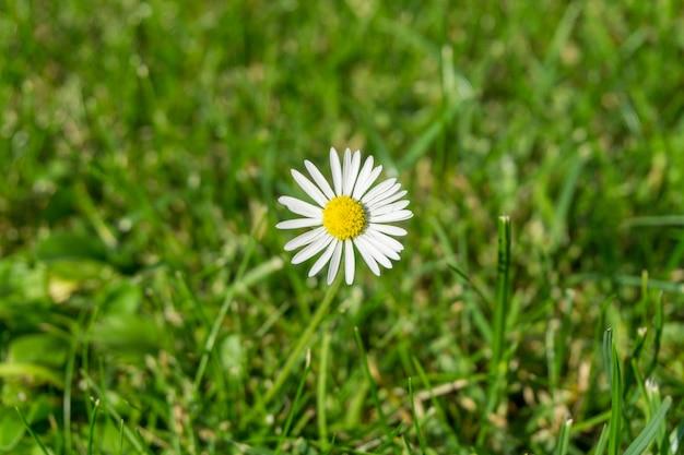 Mooie wit-petaled oxeye madeliefjebloem in een grasrijk gebied Gratis Foto