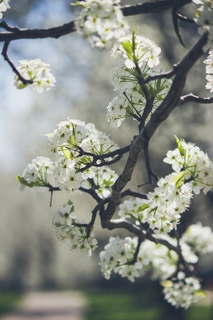 Mooie witte appel bloesem spruiten op een tak van een boom in het begin van de lente Gratis Foto