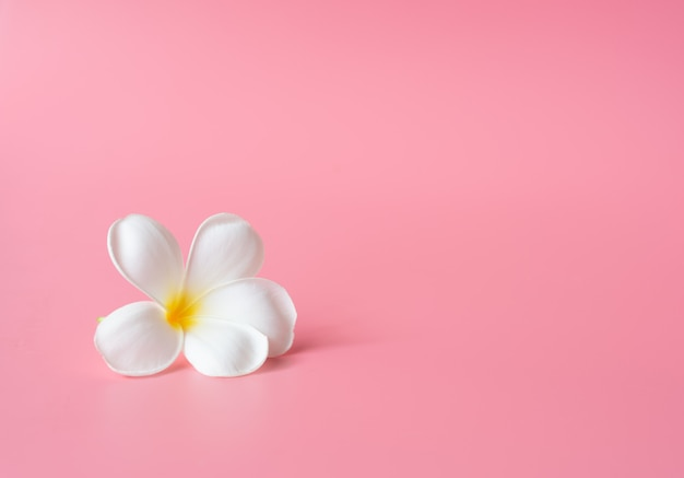 Mooie witte plumeria-bloem op roze Premium Foto