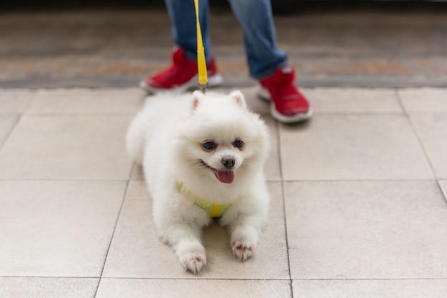 Mooie witte pomeranian die op de vloer met jongelui ligt die een leiband houdt. Premium Foto