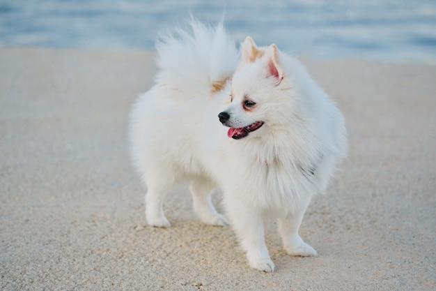 Mooie witte pomeranian spitz die in openlucht in een zeehaven loopt. Premium Foto