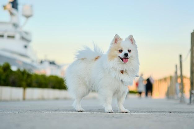 Mooie witte pomeranian spitz die in openlucht op de straat loopt. Premium Foto