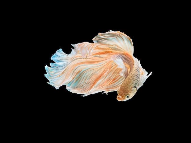 Mooie witte thaise het vechten vis die met lange vinnen en lang staartgen zwemt. Premium Foto