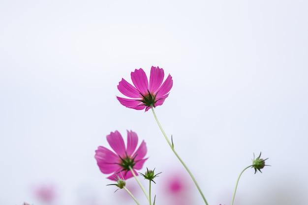 Mooie zachte selectieve focus roze en witte kosmos bloemen veld met kopie ruimte Premium Foto