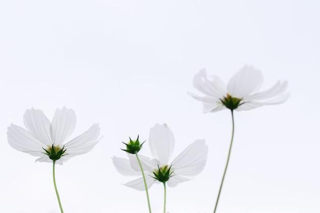 Mooie zachte selectieve focus roze en witte kosmos bloemen veld Premium Foto