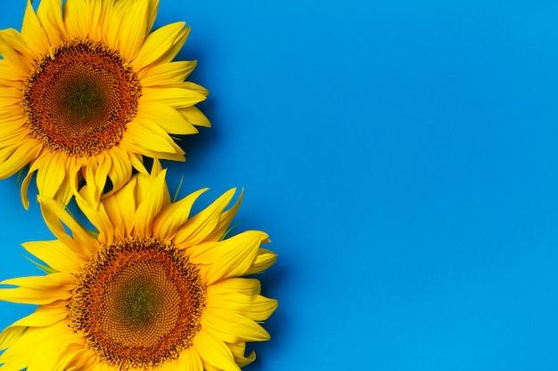 Mooie zonnebloemen op blauw Premium Foto