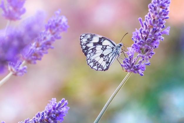 Mooie zwart-witte vlinder zittend op een paarse lavendel Gratis Foto