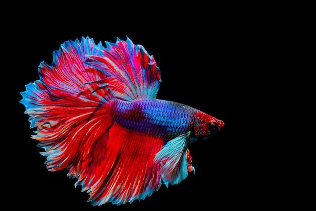 Multi kleuren siamese het vechten vissen Premium Foto