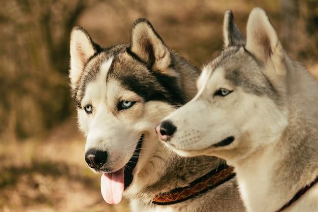 Mushing. hond rust na de race. siberische husky. Premium Foto