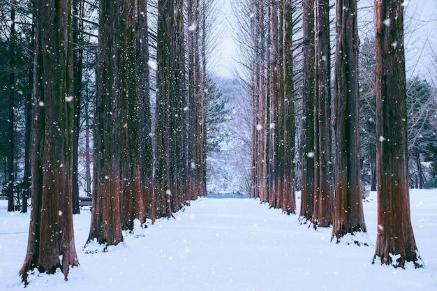 Nami-eiland in korea, rij van pijnbomen in de winter. Gratis Foto