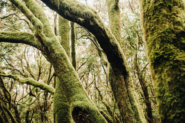 Nationaal park garajonay, laurierbos, laurisilva, la gomera, canarische eilanden, spanje Premium Foto