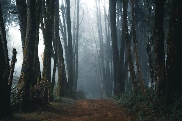 Nevelig bos, mist en dennenbos in het tropische woud van de winter, mist en dennen Premium Foto