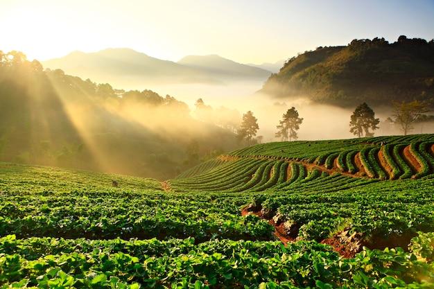 Nevelige ochtend in aardbeiinstallatie bij doi ang khang mountain, chiang mai thailand Premium Foto