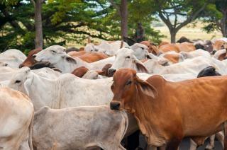 Nicaraguaanse vee Gratis Foto