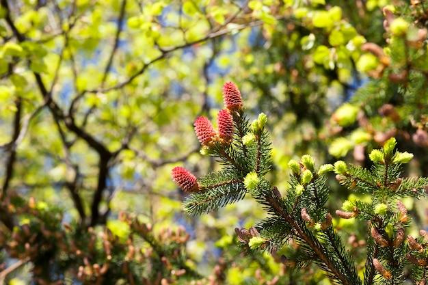 Nieuwe mooie rode kegels sparren tijdens lenteweer, close-up van de top van een boom Premium Foto