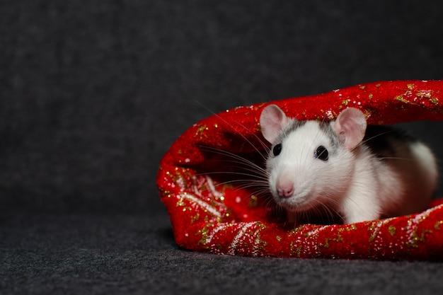 Nieuwjaar concept. leuke binnenlandse rat in het decor van een nieuwjaar met plaats voor tekst. symbool van het jaar. Premium Foto
