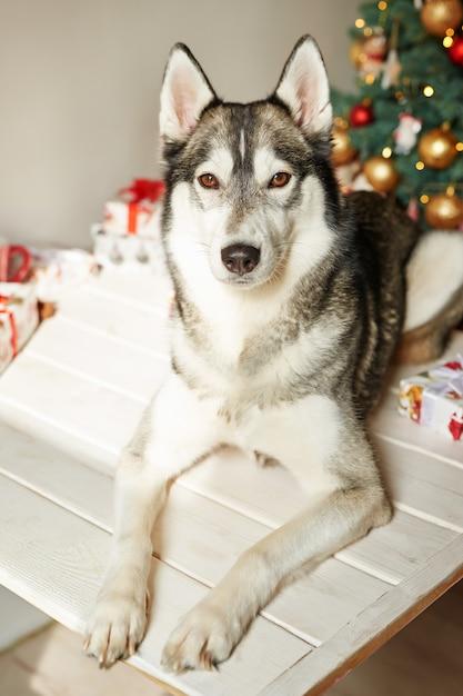 Nieuwjaar husky hond zit in de buurt van de kerstboom Premium Foto