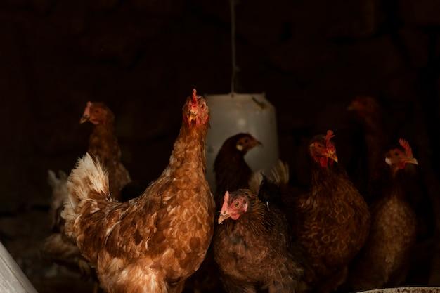 Nieuwsgierige kippen die in verschillende richtingen kijken Gratis Foto