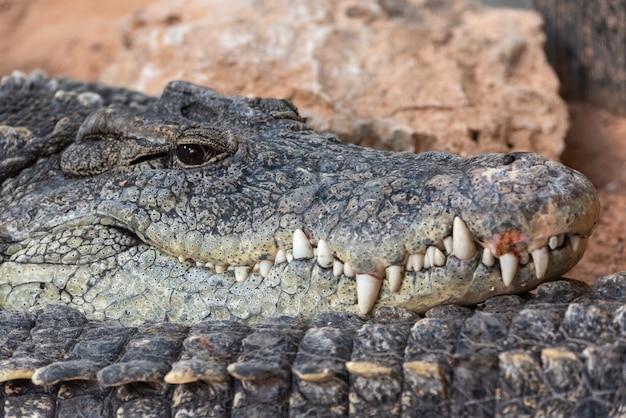 Nijlkrokodil die bij camera staart. niloticus van crocodylus. Premium Foto