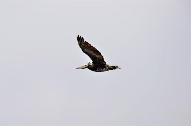 Noordelijke jan-van-gent zeevogel die onder de heldere hemel vliegt Gratis Foto
