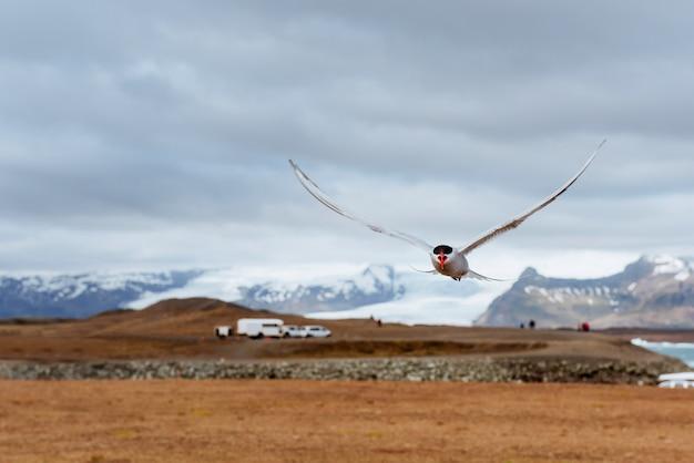 Noordse sternvogel die over hemel vliegt Premium Foto
