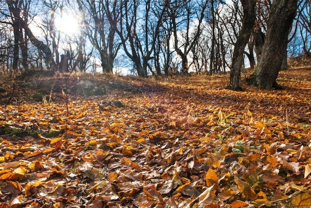 Ochtend in het herfstbos met grote eikenbomen Premium Foto