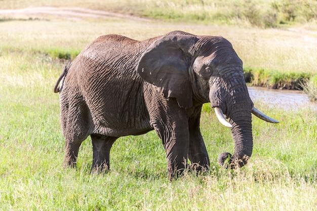 Olifant die in de savanne loopt Gratis Foto