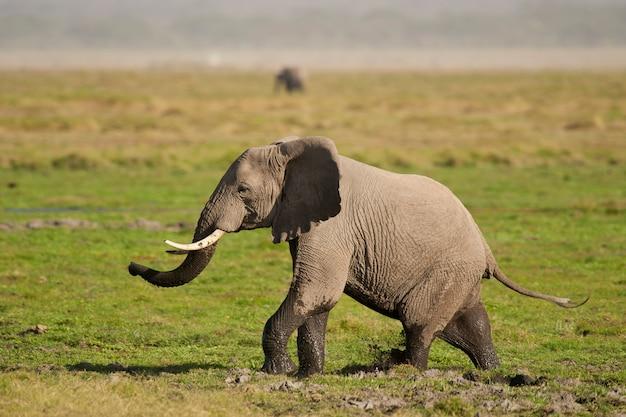 Olifant in de savanne Premium Foto