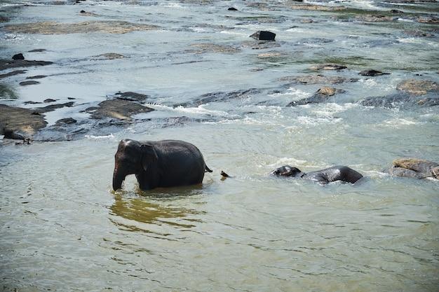 Olifanten baden in jungle rivier van sri lanka Premium Foto