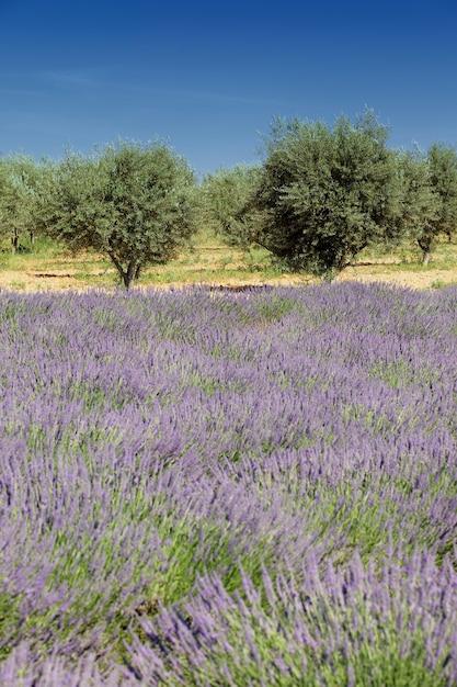 Olijfbomen en lavendel Gratis Foto
