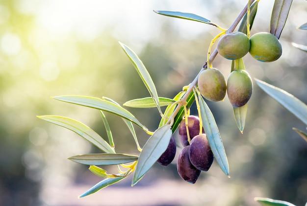 Olijftak in zijn boom bijna stil en op het punt om te worden verzameld om olie te verkrijgen. Premium Foto